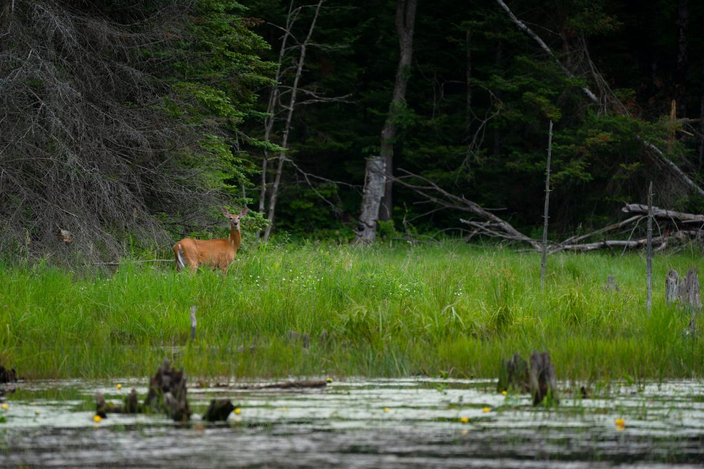 Chelsea-Marcantonio-Deer-Land'escapes-Protect